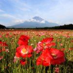富士山とポピーを一緒に見たいなら山中湖 花の都公園