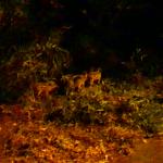 関東で見れる野生動物は?イノシシの親子に出会いました。