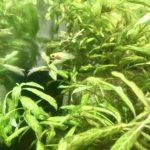 成長しているプラティの赤ちゃん|熱帯魚との暮らし