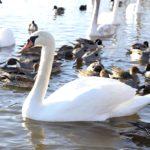 茨城県北浦湖畔の白鳥の里はこんなところでした!白鳥と出会う観光地